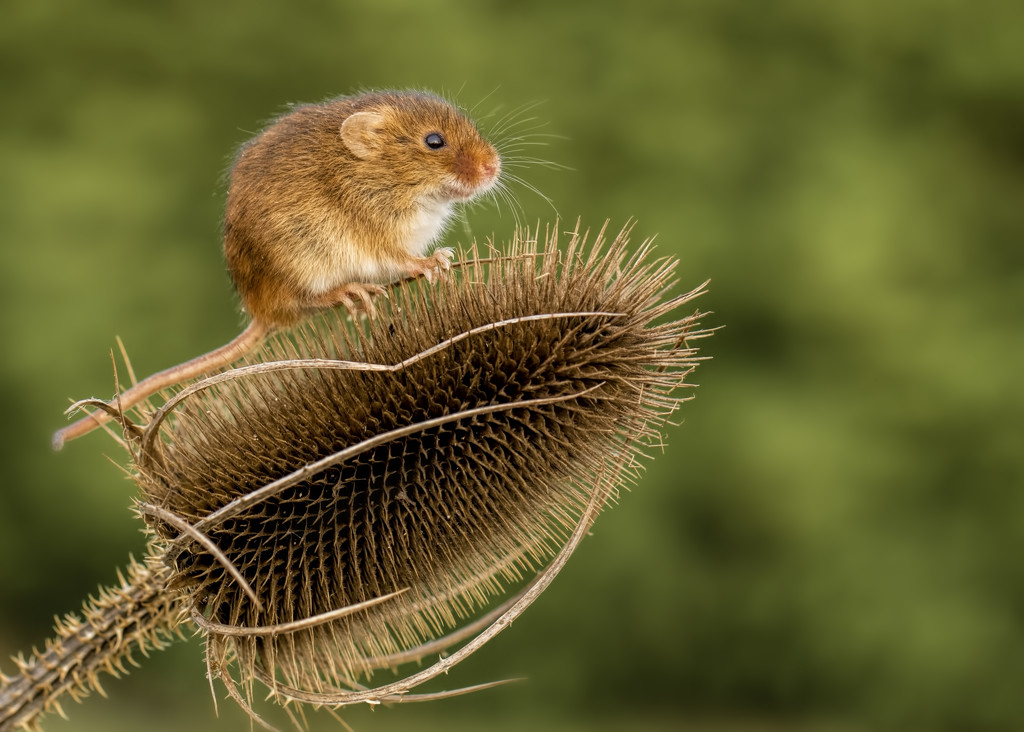 Harvest Mouse on teasel by shepherdmanswife