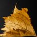 leaf again