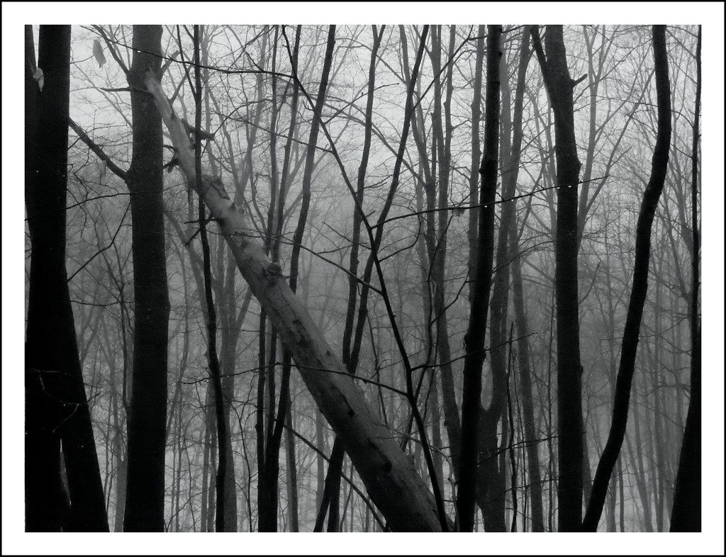 Trees in the fog by mcsiegle