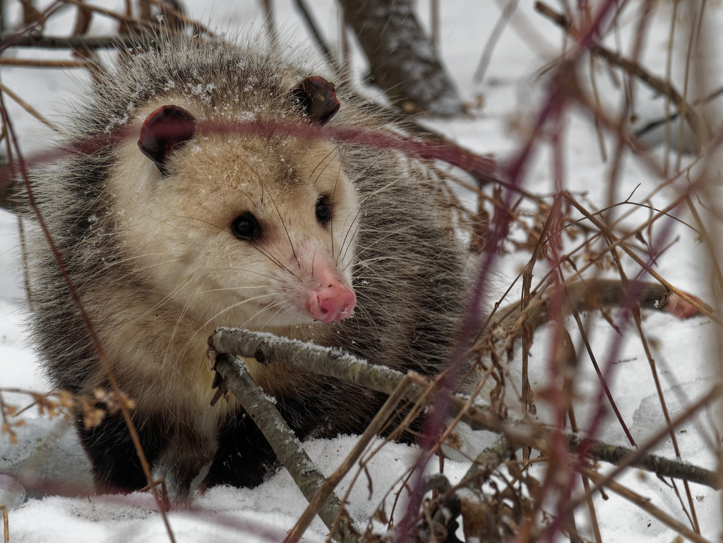 opossum in the snow by rminer