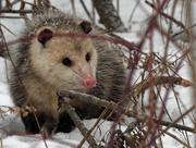 10th Feb 2019 - opossum in the snow