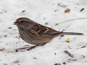 10th Feb 2019 - american tree sparrow in the snow