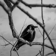 7th Feb 2019 - Crow