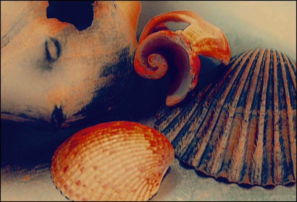 Shells a la O'Keeffe by olivetreeann