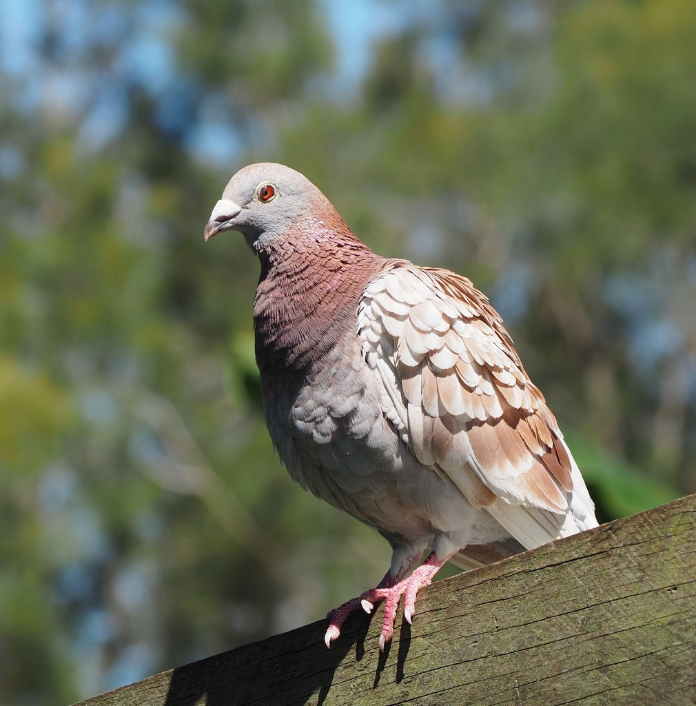 Another of our pigeons by Dawn