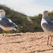 Bashful Seagull!