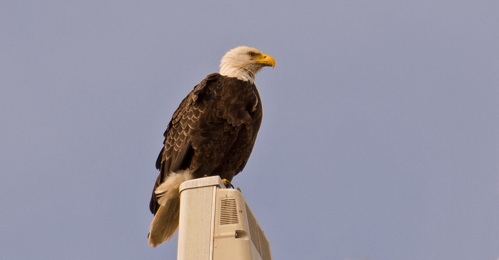Bald Eagle on the Cell Tower! by rickster549