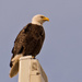 Bald Eagle on the Cell Tower!