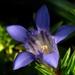 Blue alpine flower