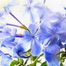 Yes, we also have blue Plumbago