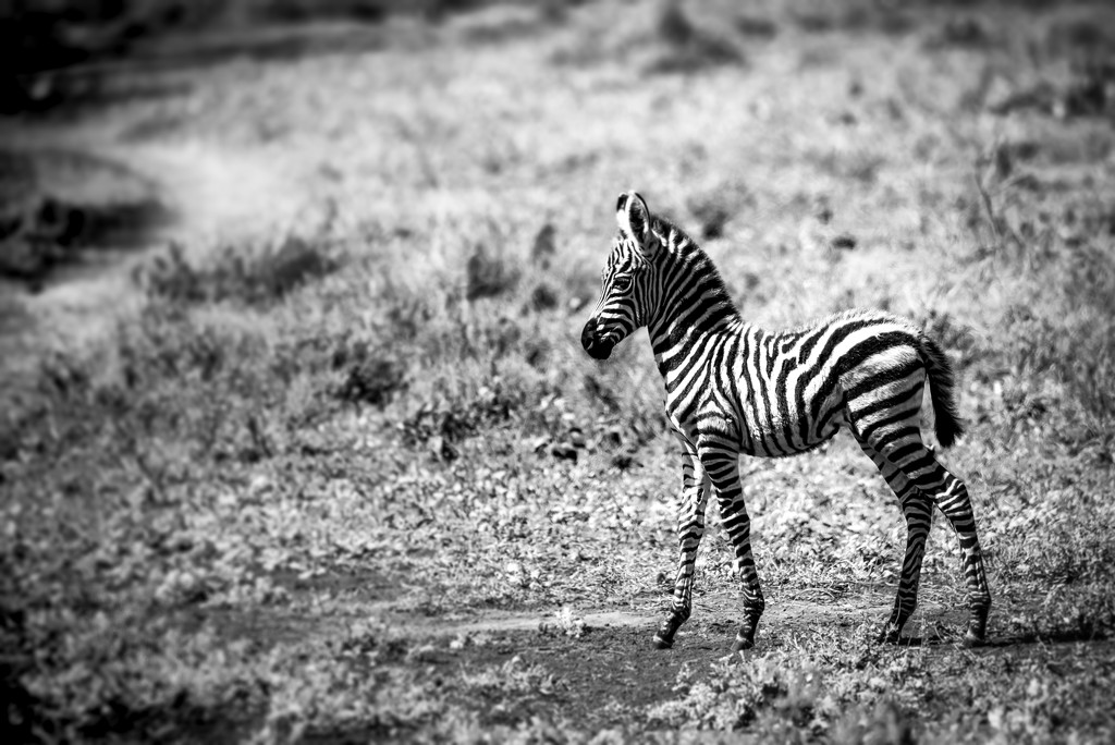 Young Zebra by taffy