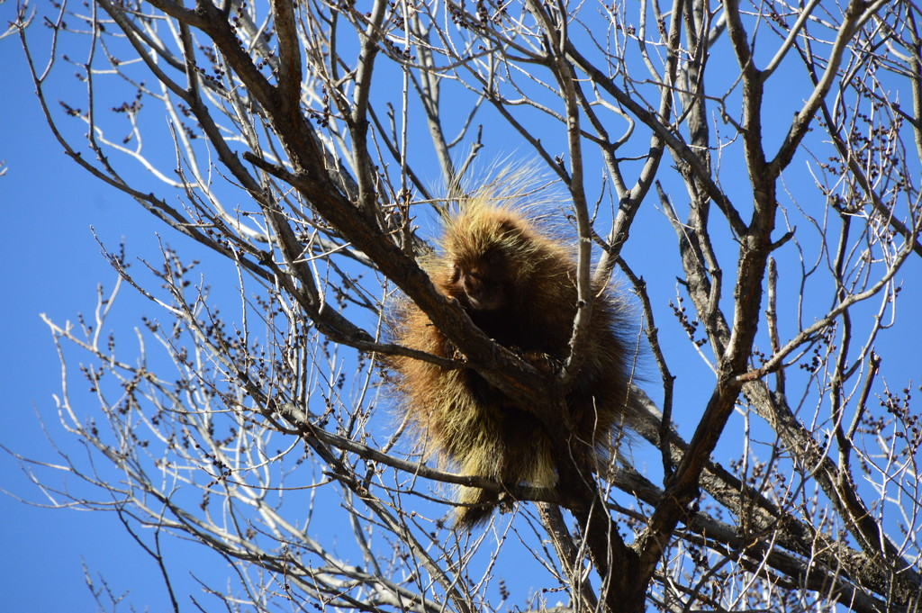 Another Porcupine by bigdad