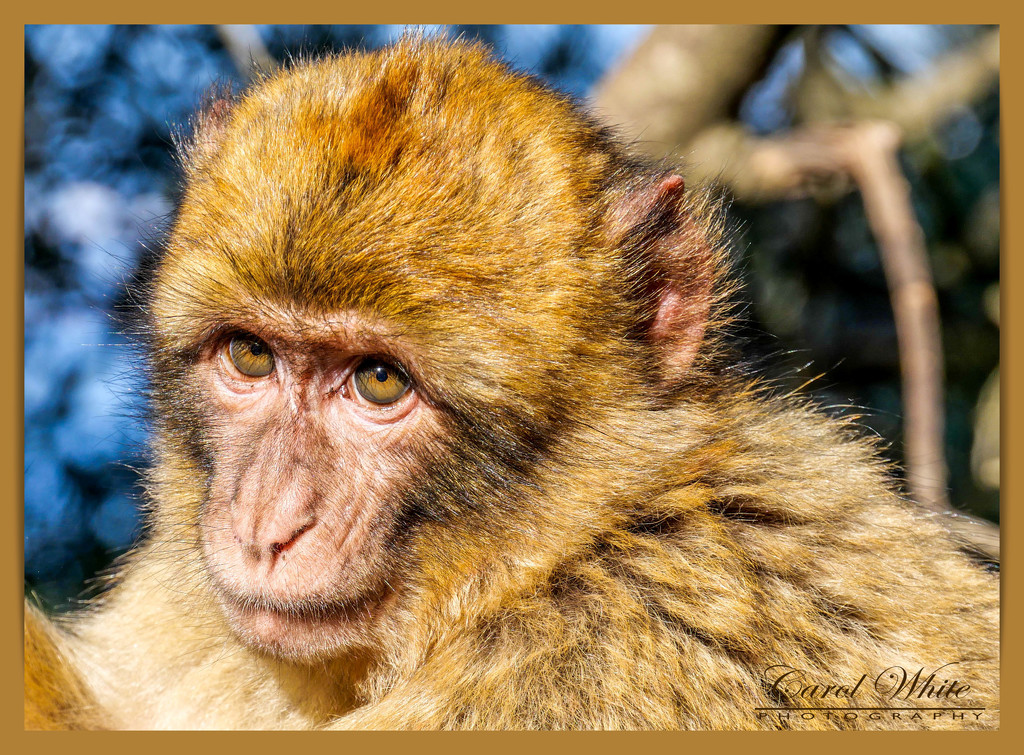 Young Barbary Macaque by carolmw