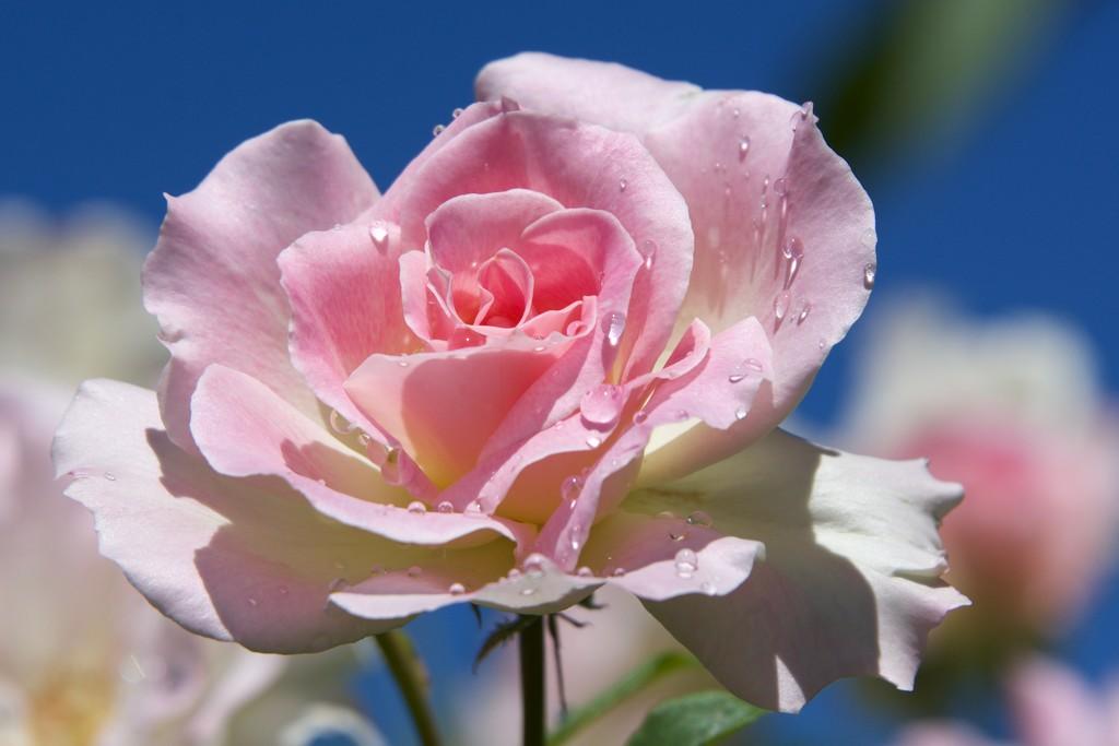 Mum's Rose_DSC5915 by merrelyn
