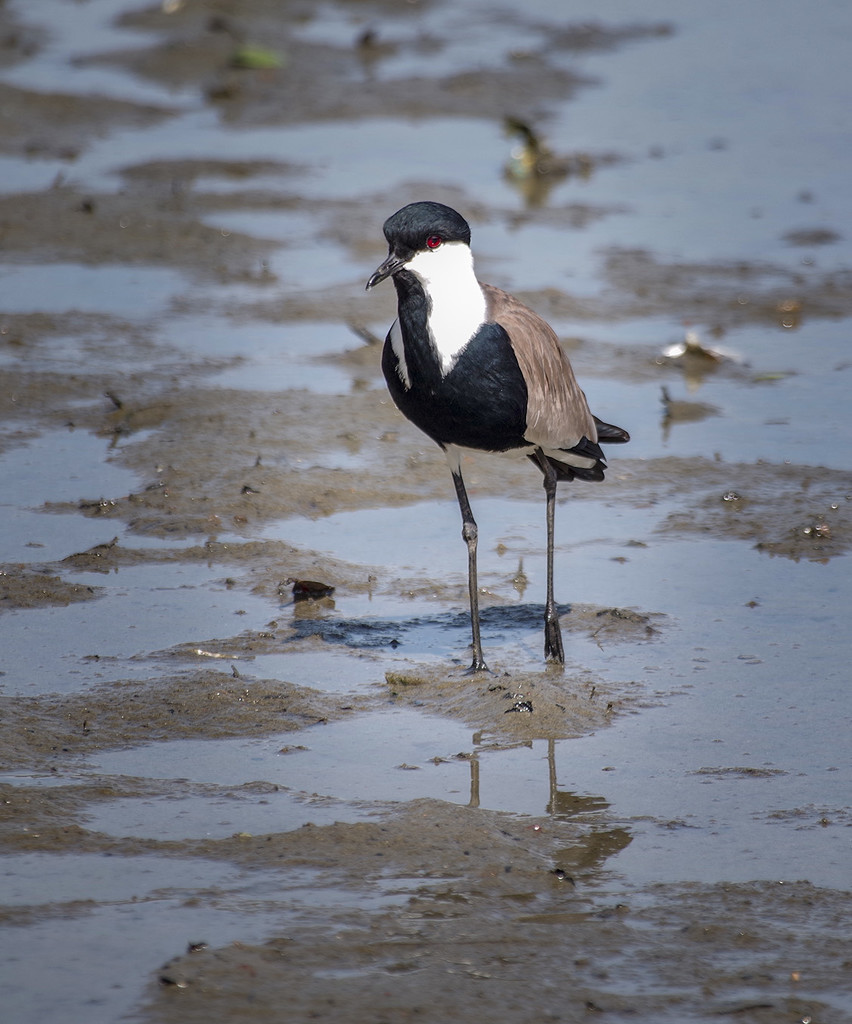 Spur Winged Lapwing by ellida