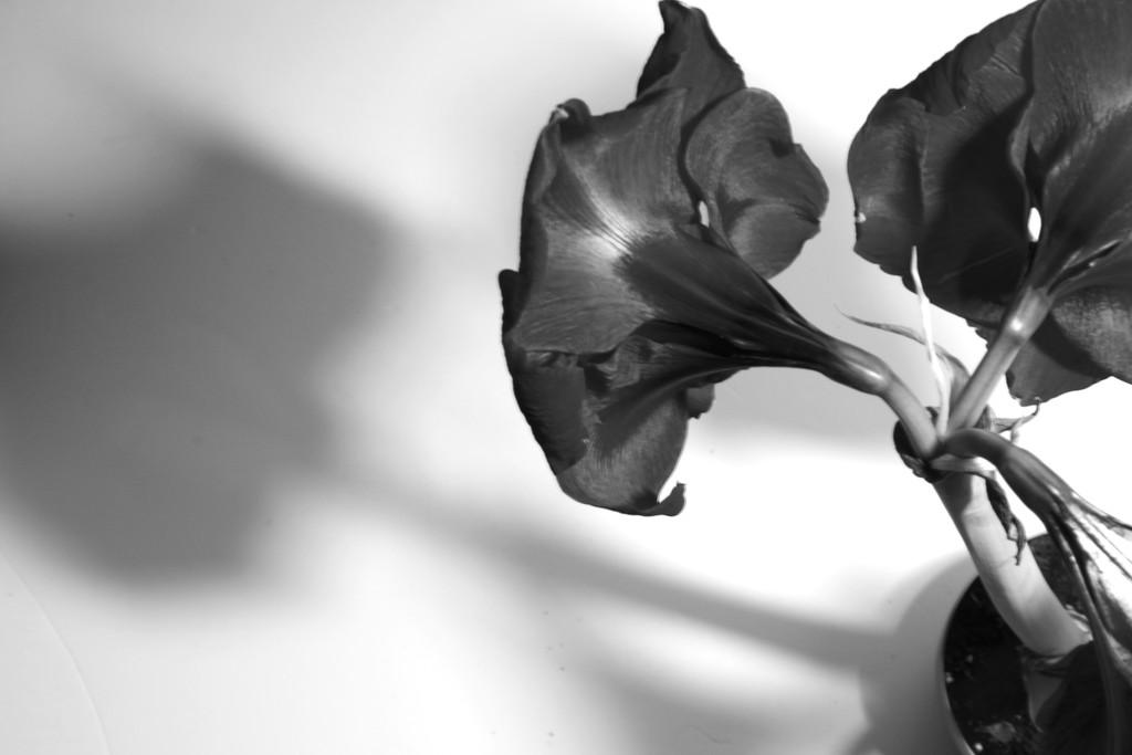 Amaryllis (3) Casting a Shadow by 30pics4jackiesdiamond