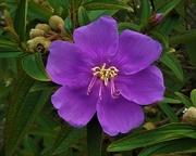 12th Feb 2019 - Tibouchina Flower ~
