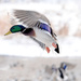 Mallard in flight!