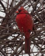 11th Feb 2019 - northern cardinal portrait