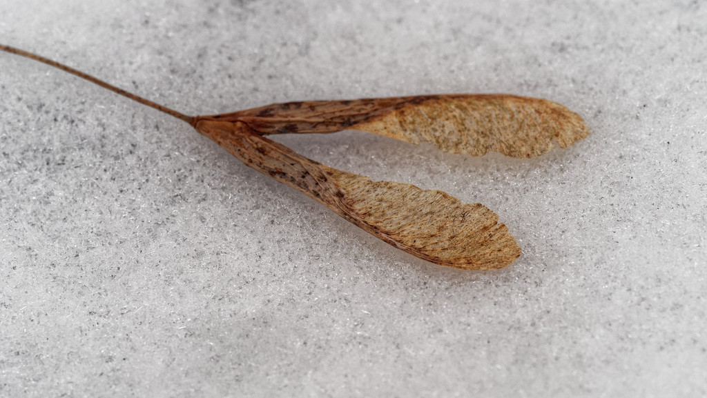 maple seeds on snow by rminer