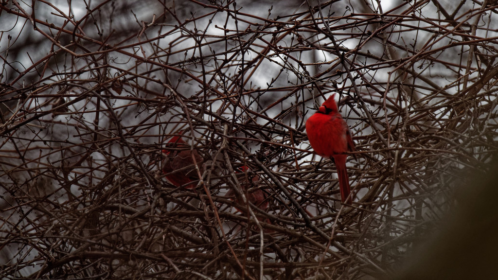 northern cardinal wide by rminer