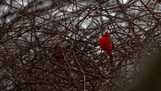 11th Feb 2019 - northern cardinal wide