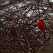 northern cardinal wide