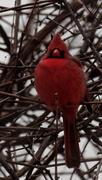 11th Feb 2019 - northern cardinal tall