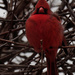 northern cardinal tall