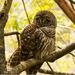 Lazy Owls!