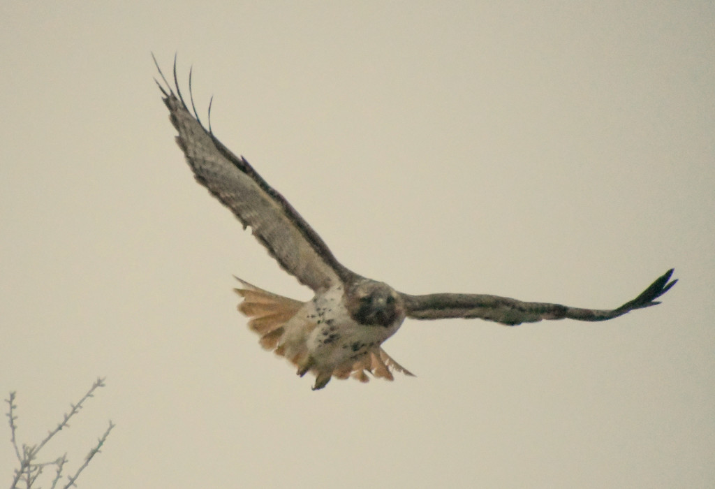 Red-Tailed Hawk Foggy Flight by kareenking
