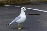 11th Feb 2019 - Ring-billed Gull