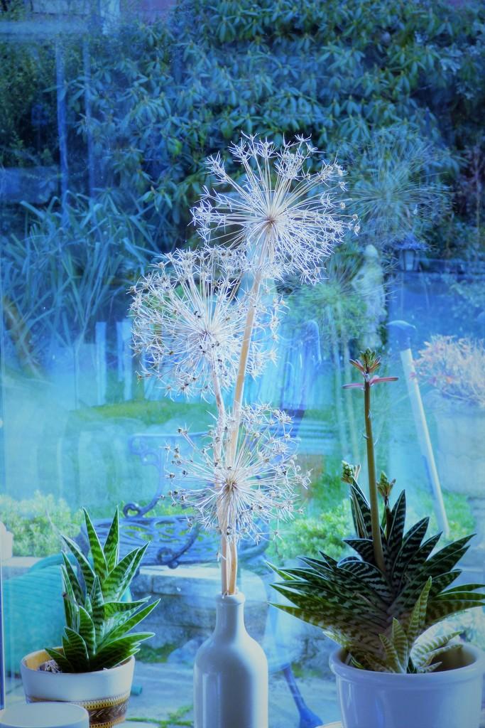Alium seedheads  by beryl