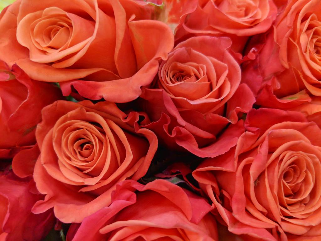 Orange.Roses by gq