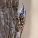 Tree creeper in colour
