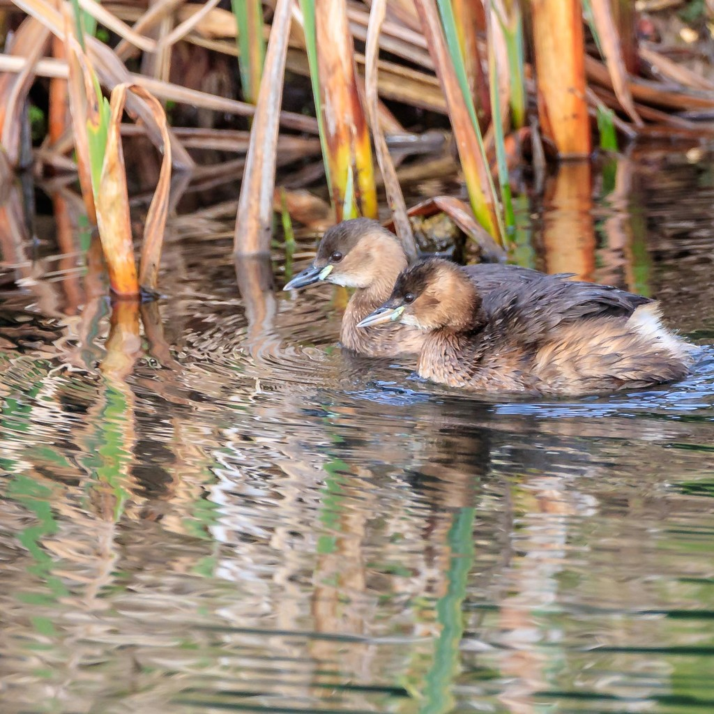 Little Grebe, Male and Female by padlock