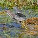 Running heron
