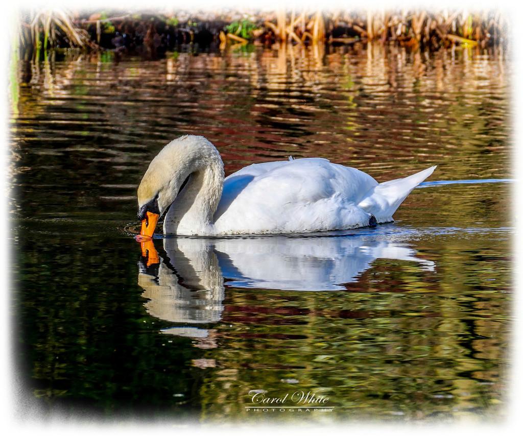 Thirsty Swan by carolmw