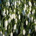 Mass of snowdrops