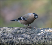 12th Feb 2019 - Female Bullfinch