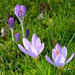 Crocuses... by snowy