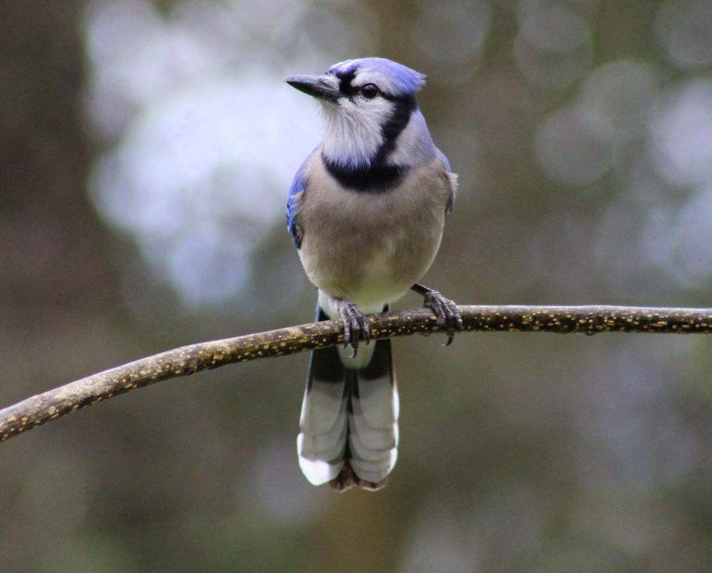 Jay Bird by cjwhite