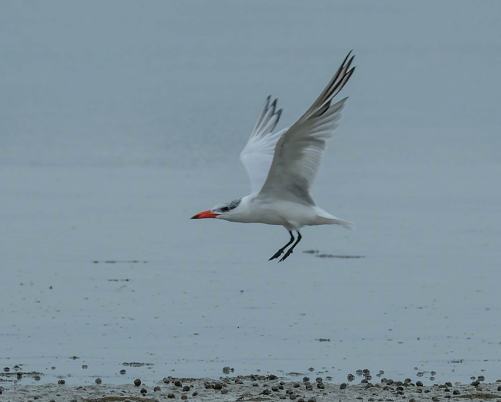 Caspian tern coming in to land by maureenpp