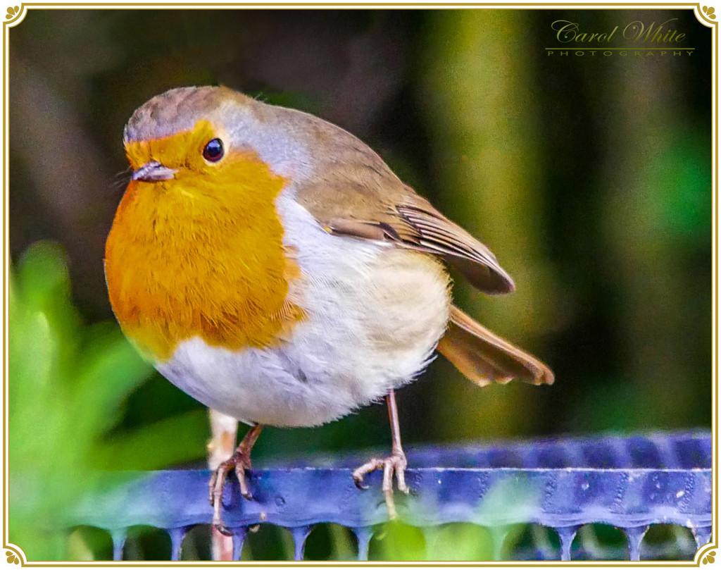 Inquisitive Robin by carolmw