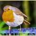 Inquisitive Robin