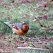 Varied Thrush by seattlite