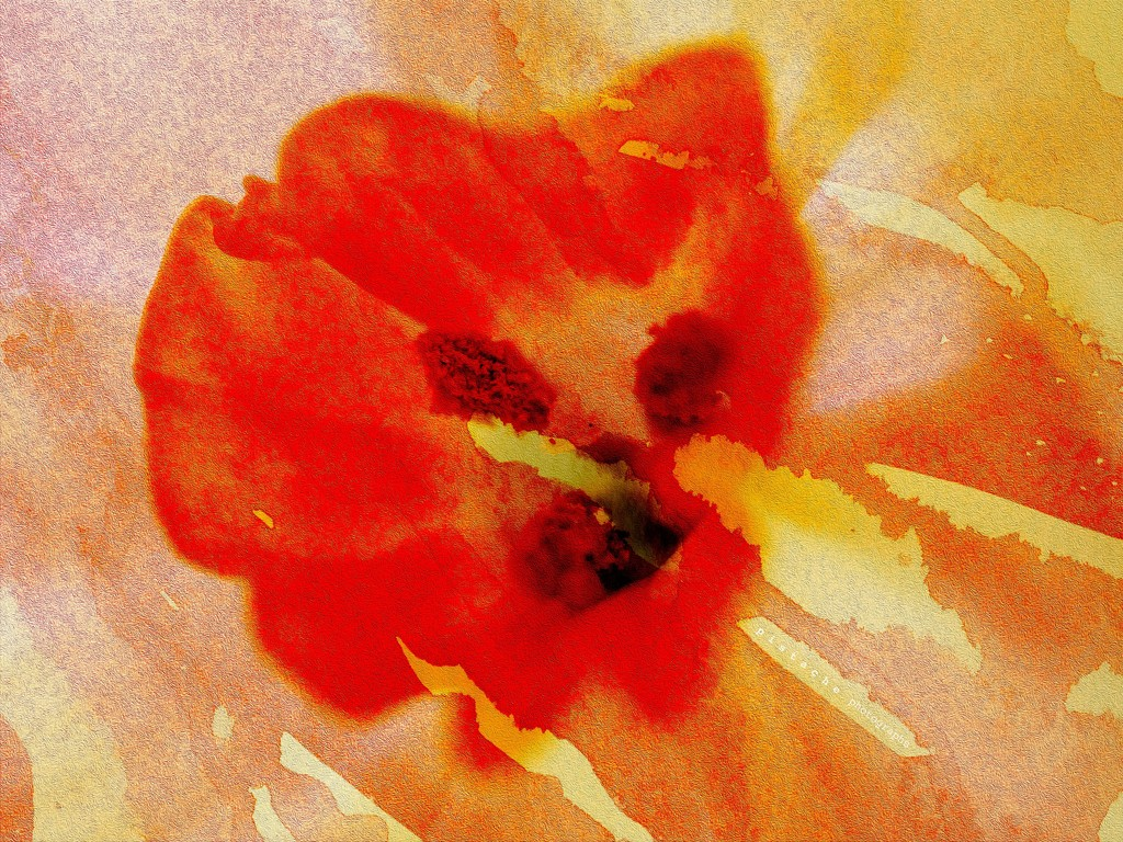 narcissus masquerading as poppy by pistache