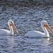 LHG_5052 White Pelicans