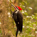 Pileated Woodpecker Profile!