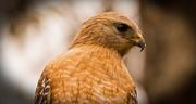 13th Feb 2019 - Hawk, Close Up!